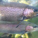 :KALANVILJELY: Ahvenanmaalla lopetetaan yli puoli miljoonaa kiloa kirjolohta kalojen IHN-taudin vuoksi